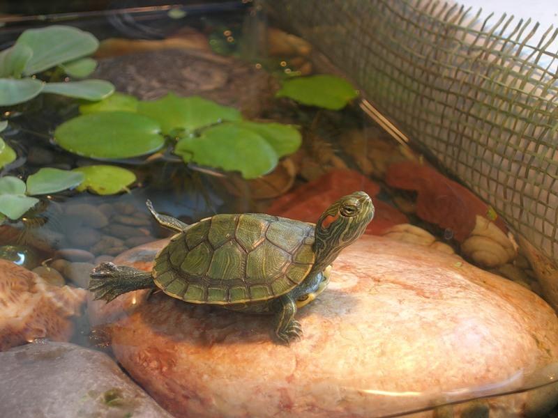 Черепаха водоплавающая в домашних условиях фото - Pizza e Birra
